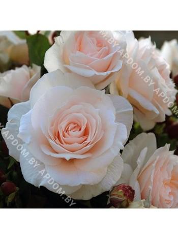 Роза Свит Блонди (Rosa Sweet Blondie)
