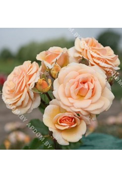 Роза Свит Ханей