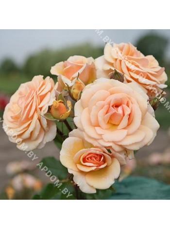 Роза Свит Ханей (Rosa Sweet Honey)