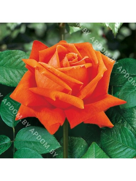 Роза Сика