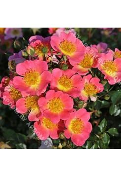 Роза Тополина