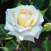 Роза Ханеймилк