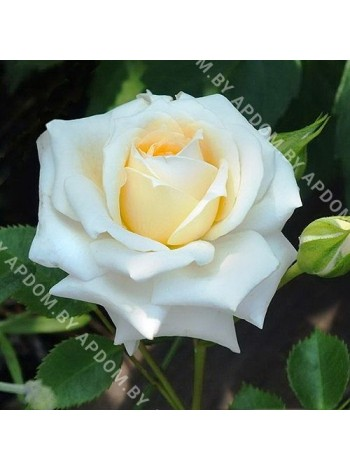Роза Ханеймилк (Rosa Honeymilk)