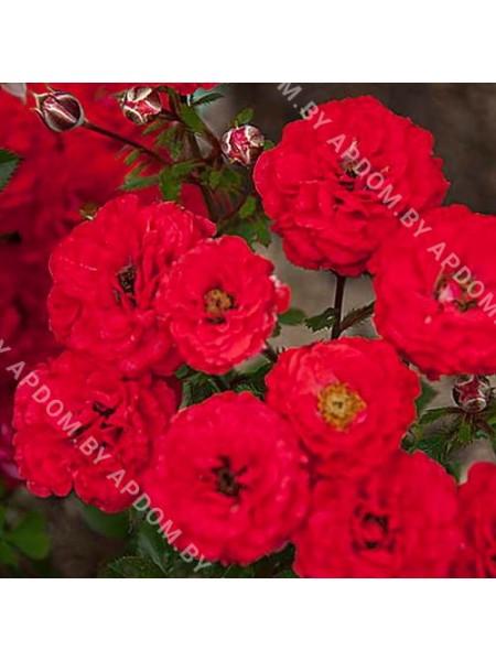 Роза Цвергенфее
