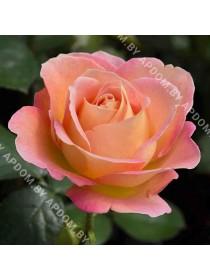 Роза Элль, высота 110 см