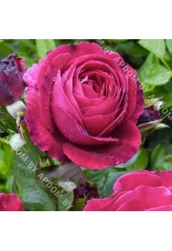 Роза Эмпрант, 110 см