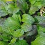 Семена зеленых