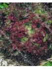 Салат листовой Лолло Росса (Lactuca sativa L.var.capitata)
