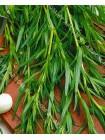 Эстрагон (Тархун) (Artemisia dracunculus L.)