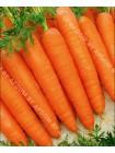 Морковь Император (Daucus carota L.)