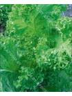 Горчица салатная Зеленый гигант (Brassica juncea)