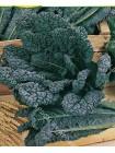 Капуста листовая Черная Тосканская