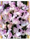 Душистый горошек Лиловые Кружева К.Ш. (Lathyrus odoratus)