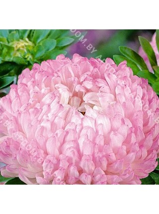 Астра китайская Дюшес бело-розовый
