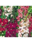 Вербаскум смесь сортов (Verbascum phoeniceum)