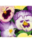Виола Пастель F2 (Viola x wittrockiana)