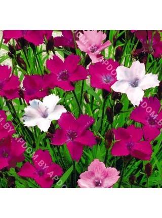 Гвоздика - травянка Пестрая Лужайка