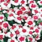 Семена цветов для альпийской горки