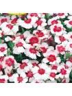 Гвоздика китайская Мери Гоу Раунд (Dianthus chinensis v. heddewigii)