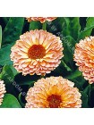 Календула Розовый Сюрприз (Calendula officinalis)