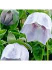 Кодонопсис клематисовидный Лайлек Айс (Codonopsis clematidea)