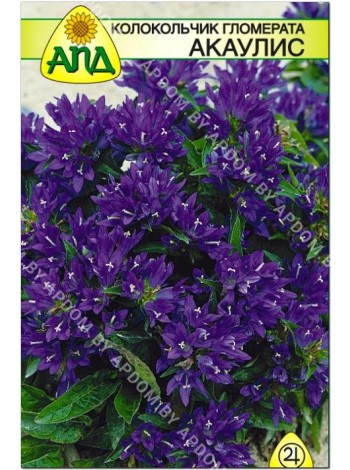 Колокольчик гломерата Акаулис (Campanula glomerata)