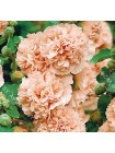 Мальва махровая бежевая (Althaea rosea)