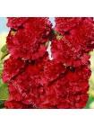 Мальва махровая красная (Althaea rosea)