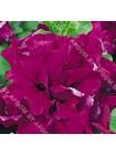 Петуния махровая Дуо Бургунди F1 (Petunia multiflora)