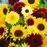 Семена цветов для патио