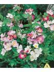 Роза китайская Крылья Ангела (Rosa chinensis)