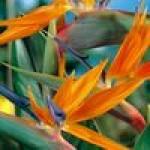 Семена стрелиции
