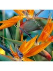 Стрелиция (Strelitzia reginae)
