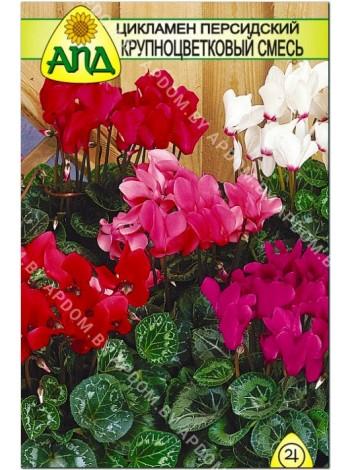 Цикламен персидский (Cyclamen persicum)
