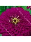 Цинния Пурпурный Принц (Zinnia elegans )