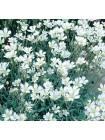 Ясколка (Cerastium biebersteinii)