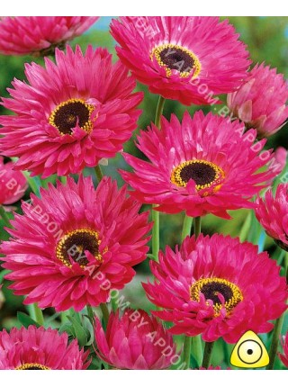 Гелиптерум розовый Голиаф